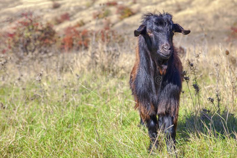 Porträt der schwarzen Ziege lizenzfreies stockbild
