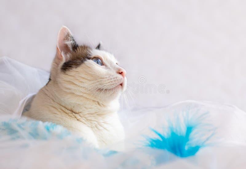 Porträt der weißen und braunen Katze mit großen blauen Augen stockbilder