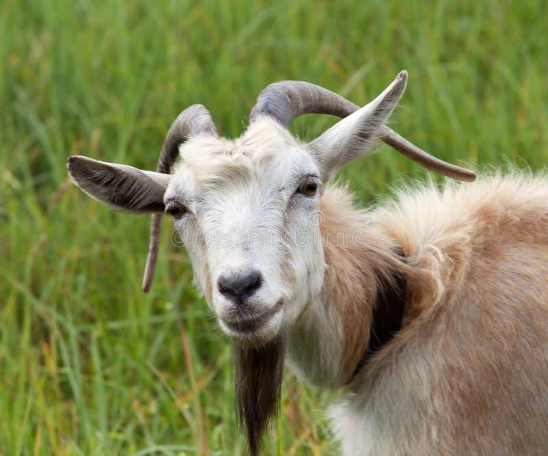 Porträt der Ziege auf Wiese am Sommersonnentag lizenzfreies stockbild