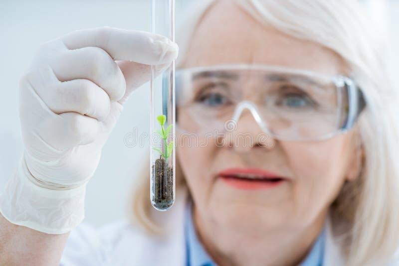 Porträt des älteren Frauenwissenschaftlers, der Anlage im Glasreagenzglas analysiert stockbild