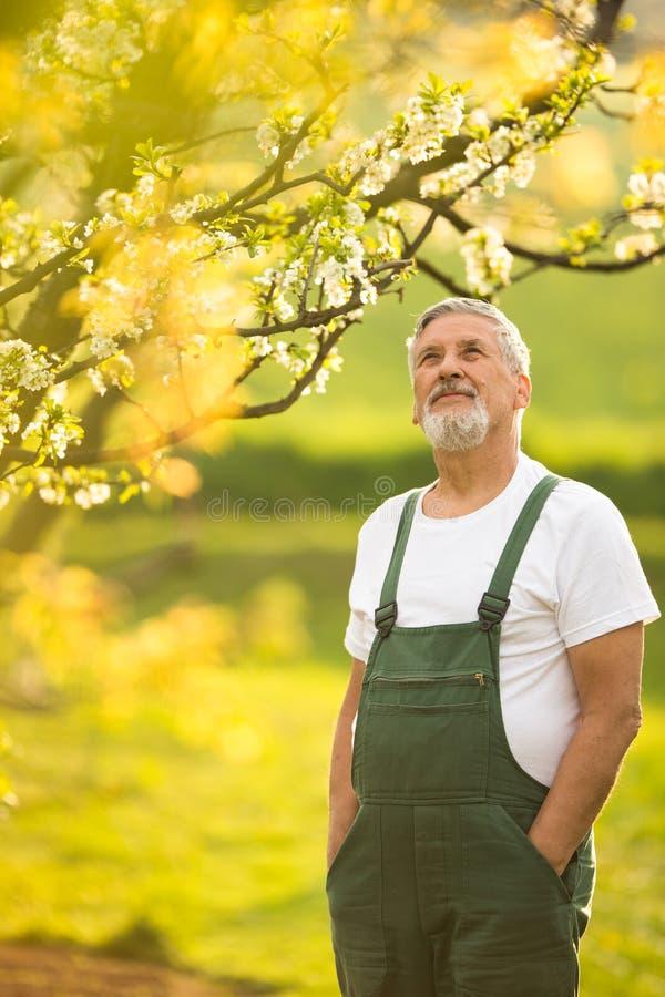 Porträt des älteren Mannes im Garten arbeitend, um seinem reizenden Obstgarten kümmernd lizenzfreie stockbilder