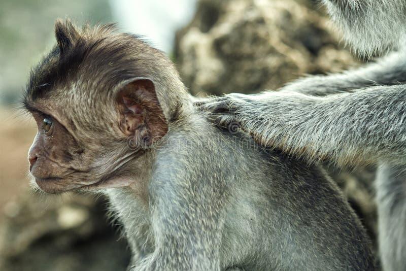 Porträt des Affen im Uluwatu lizenzfreie stockfotos