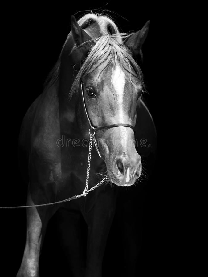 Porträt des arabischen Colts am schwarzen Hintergrund lizenzfreies stockbild