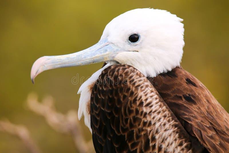 Porträt des Babys ausgezeichnetes Frigatebird auf Nord-Seymour Island lizenzfreie stockbilder