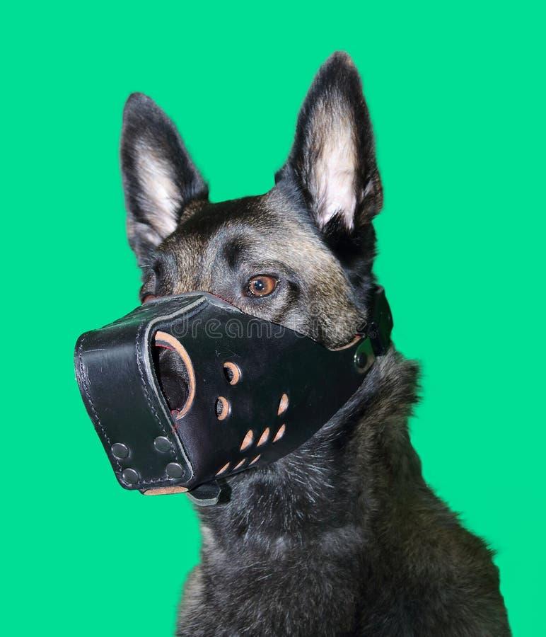 Porträt des Belgier Malinois-Schäferhundes, der eine gepanzerte Mündung für den Job des Sicherheitsbeauftragters auf grünem Hinte lizenzfreies stockfoto