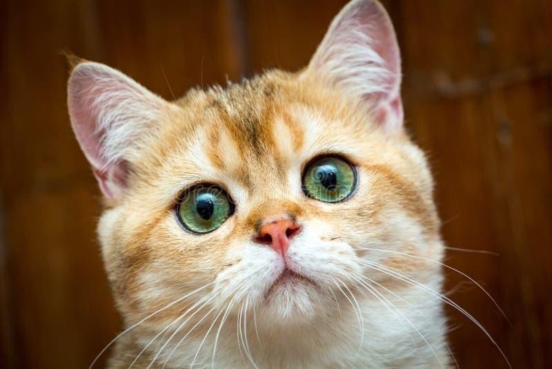 Porträt des Bezauberns der Mündung der goldenen britischen jungen Katze mit grünen Augen lizenzfreie stockfotografie
