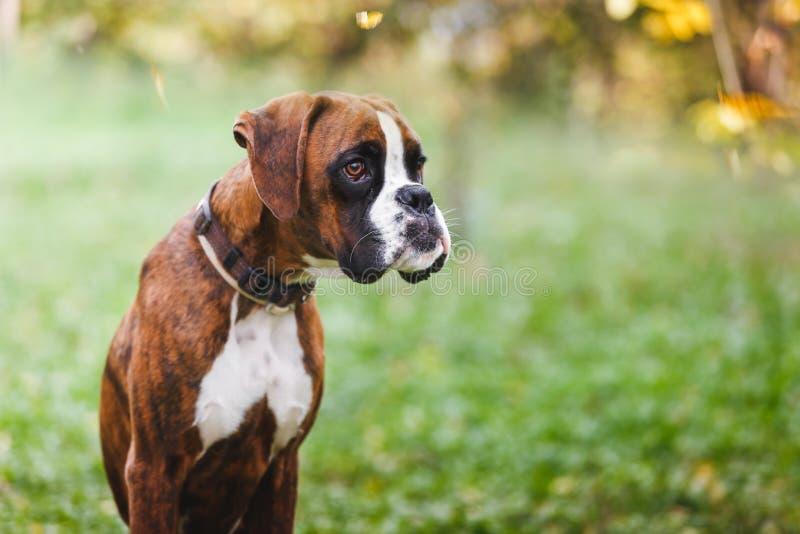 Porträt des braunen Boxerwelpen, der auf Gras sitzt stockbilder