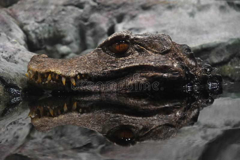 Porträt des Cuvier-Zwerg-Kaimankrokodils im Wasser stockfotografie