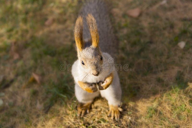 Porträt des Eichhörnchens stockfotos
