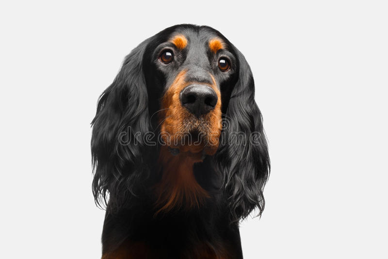 Porträt des englischer Setzer-Hundes lizenzfreies stockbild