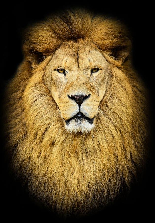Porträt des enormen schönen männlichen afrikanischen Löwes gegen schwarzen Hintergrund lizenzfreies stockfoto
