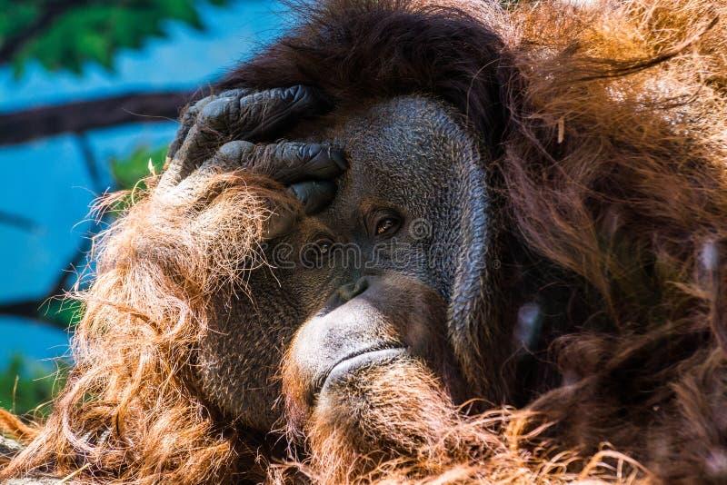 Porträt des Entspannungsorang-utans lizenzfreie stockfotos