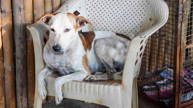 Porträt des erwachsenen Hundes der Kanaille, der auf dem Stuhl am Portal liegt lizenzfreie stockfotografie