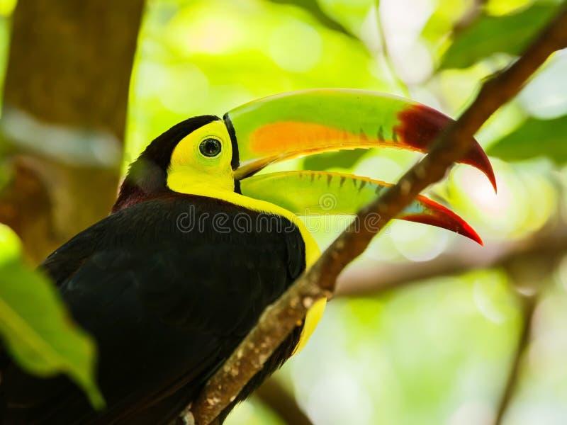 Porträt des Fischertukanvogels stockbild