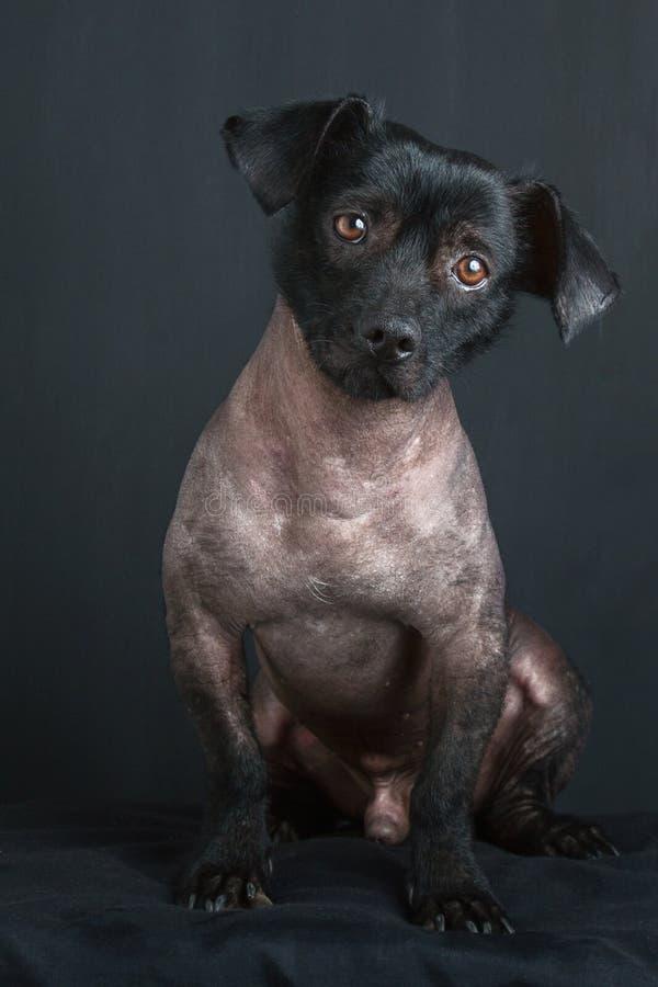 Porträt des gemischten peruanischen Hundes stockfoto