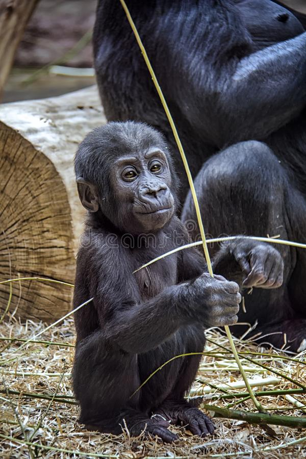 Porträt des Gorillababys stockbild