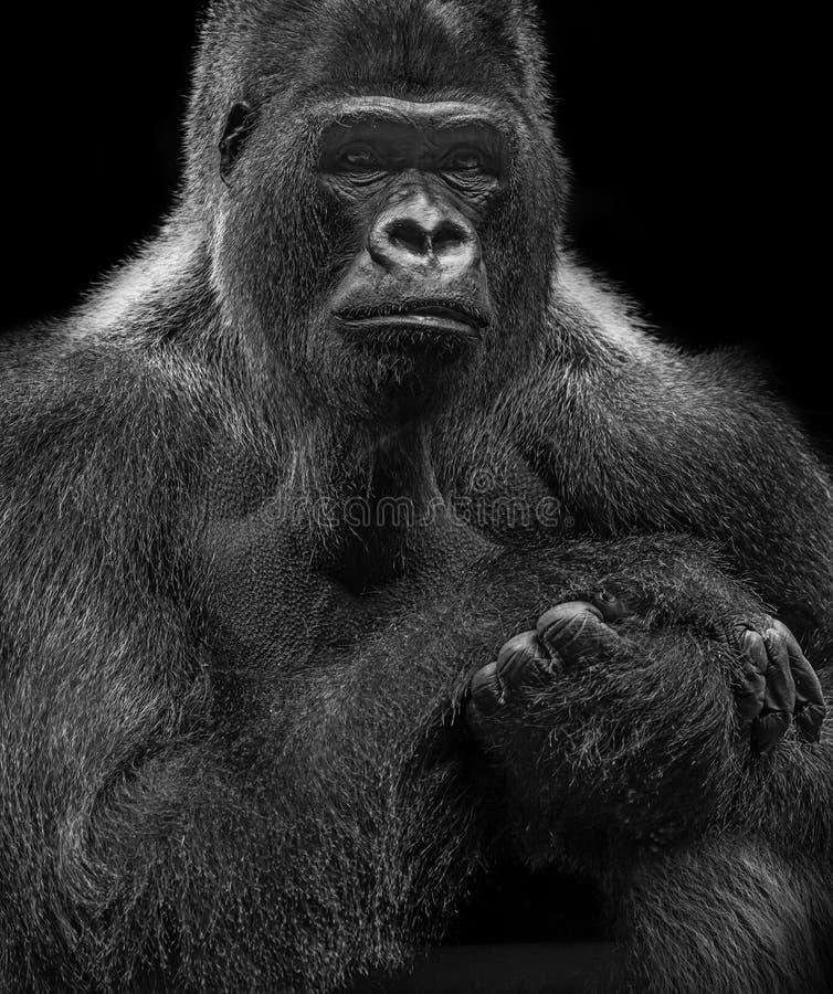 Porträt des Gorillas stockbild