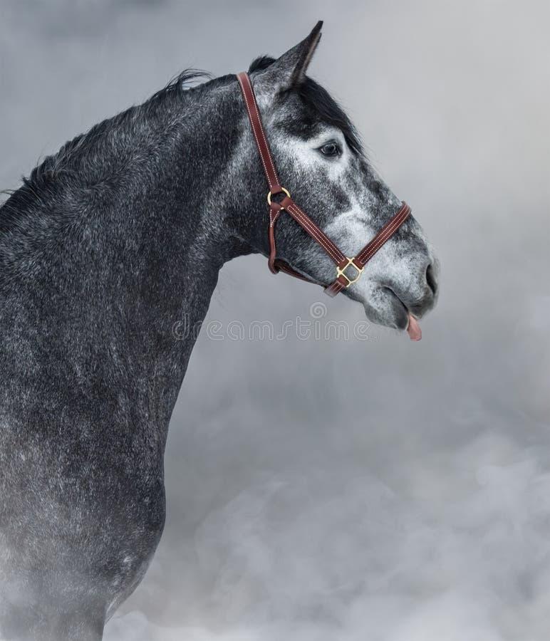 Porträt des grauen andalusischen Pferds haftet seine Zunge stockfotos