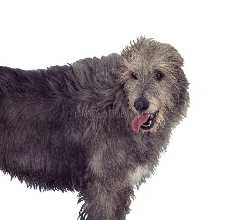 Porträt des grauen irischen Wolfshunds lokalisiert auf weißem Hintergrund stockbild