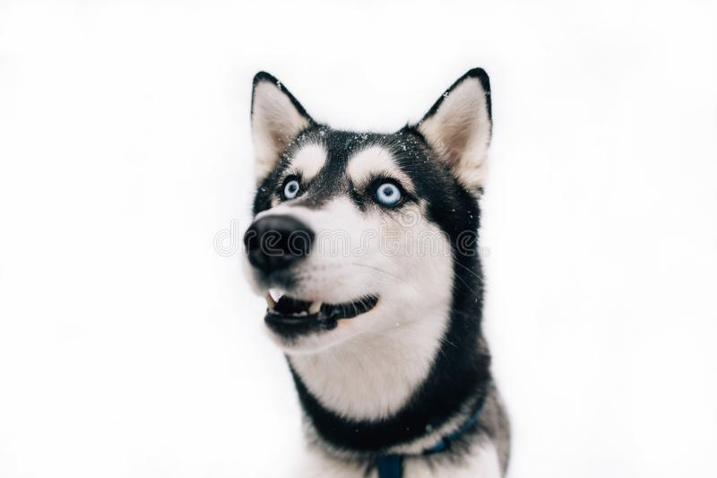 Porträt des heiseren Hundes auf lokalisiertem Hintergrund stockfoto