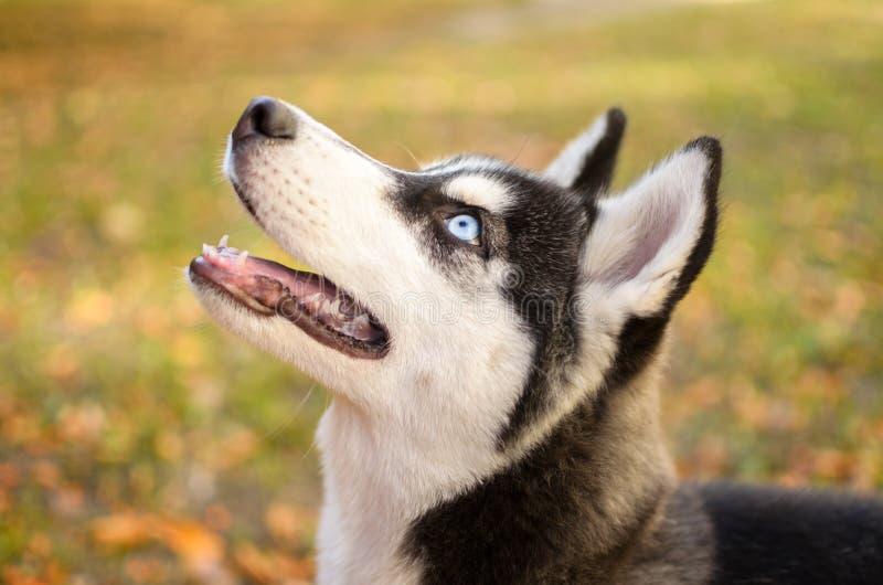 Porträt des heiseren Hundes stockfotos