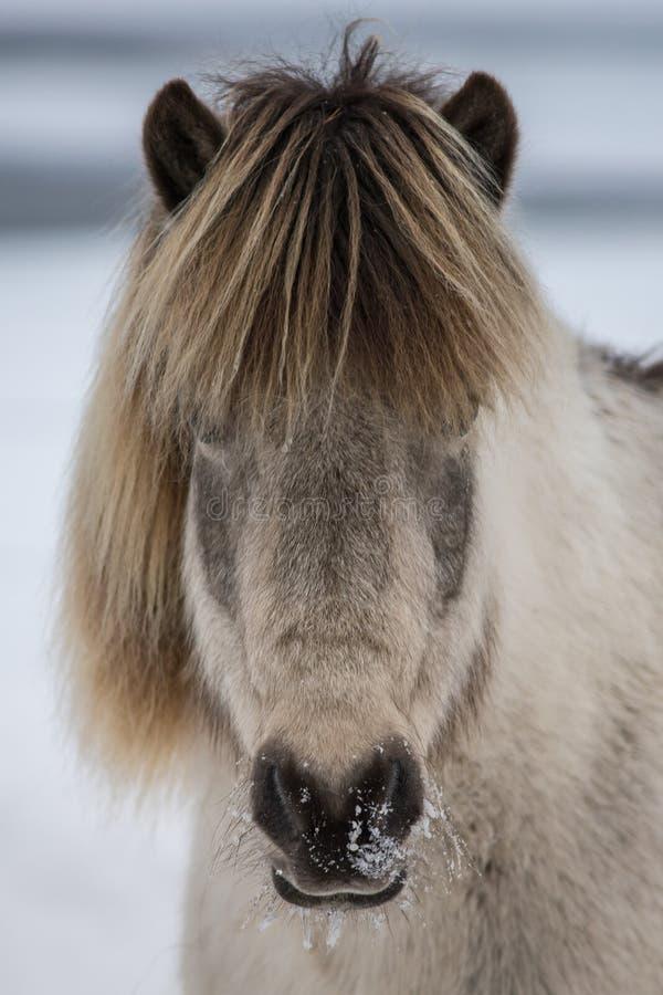 Porträt des hellen und dunkelbraunen isländischen Pferds stockbilder