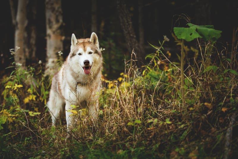 Porträt des herrlichen Hundes des sibirischen Huskys, der im hellen bezaubernden Fallwald steht stockfotos