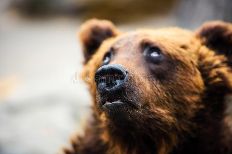 Porträt des jungen Braunbären lizenzfreies stockbild