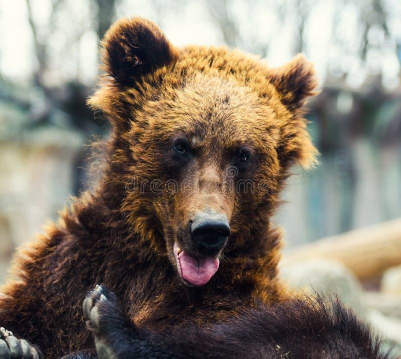 Porträt des jungen Braunbären stockfotos