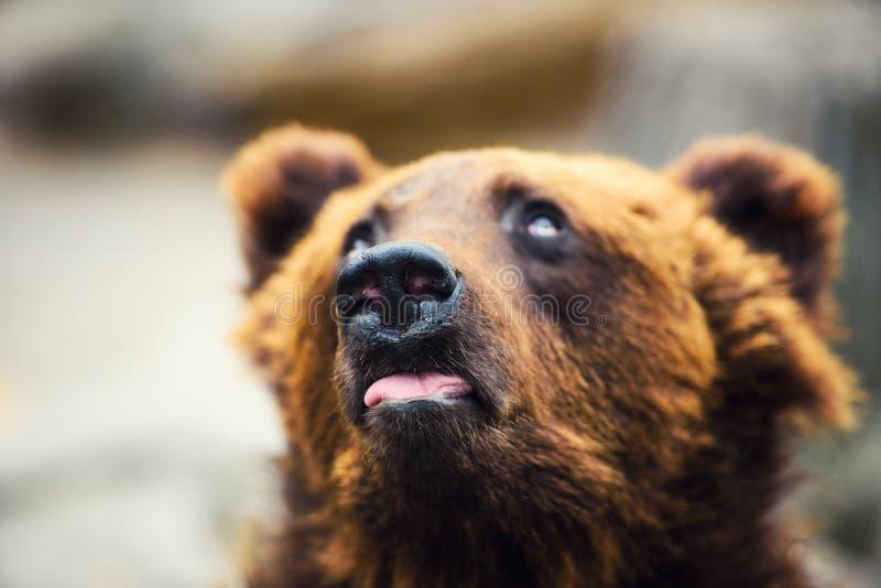 Porträt des jungen Braunbären lizenzfreie stockfotos
