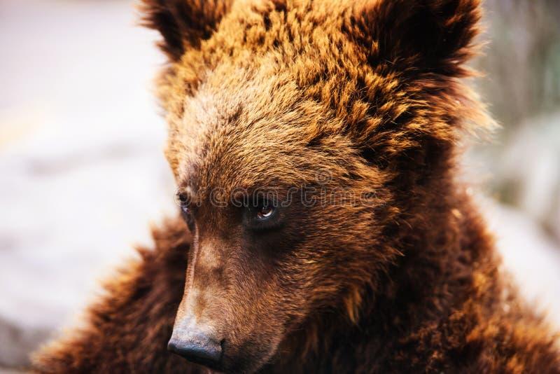 Porträt des jungen Braunbären lizenzfreies stockfoto