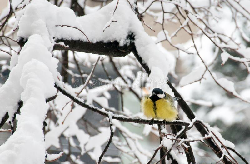 Porträt des Kohlmeise Parusmajors im Winter lizenzfreies stockbild