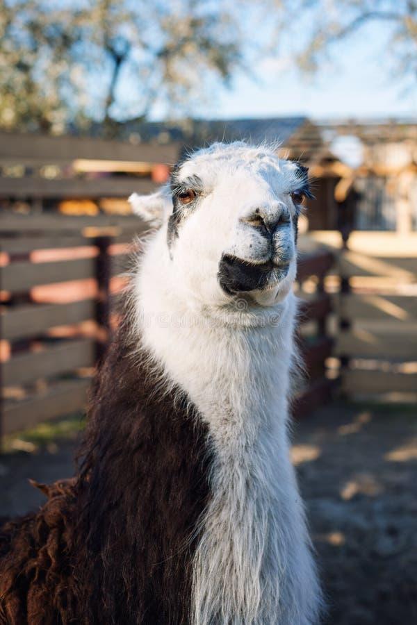 Porträt des Lamas im Park oder im Zoo Lustiges inländisches Lama glama stockfotos