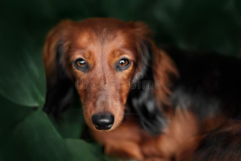 Porträt des langhaarigen Dachshunds der Hunderasse stockfoto