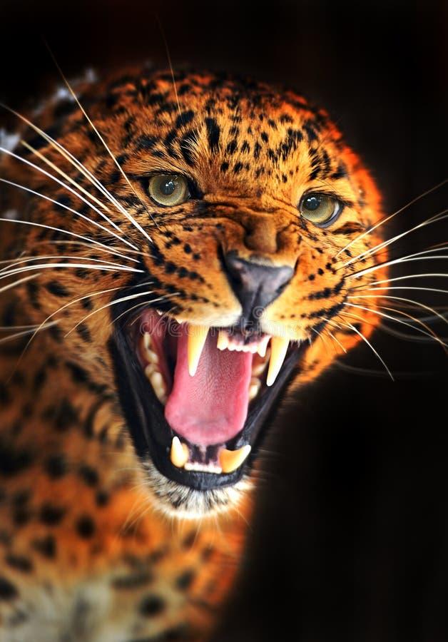 Porträt des Leoparden stockbilder