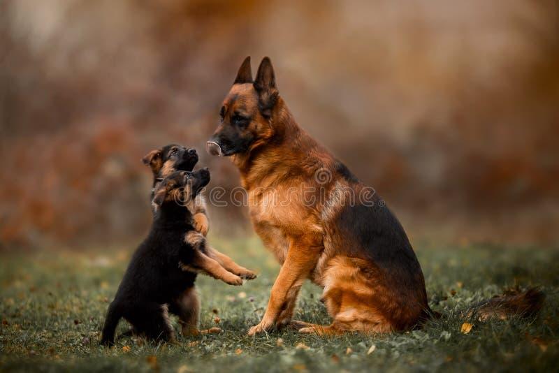 Porträt des männlichen Schäferhundhundes mit dem Welpen im Freien lizenzfreies stockbild