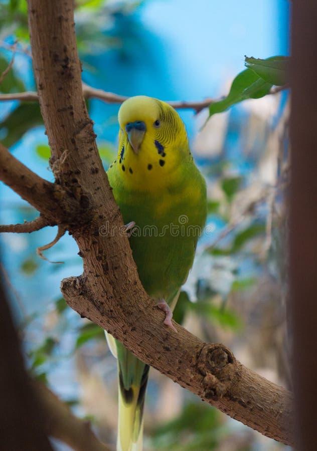 Porträt des männlichen Sittichs im Baum stockfoto