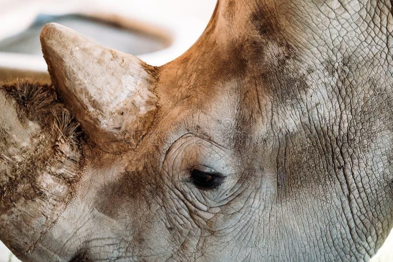 Porträt des nahen vew des Kopfes von Nashorn stockbild