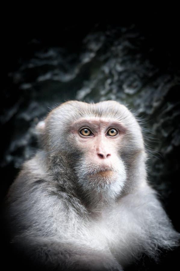 Porträt des netten kleinen Affen mit ernstem Gesicht. stockbilder