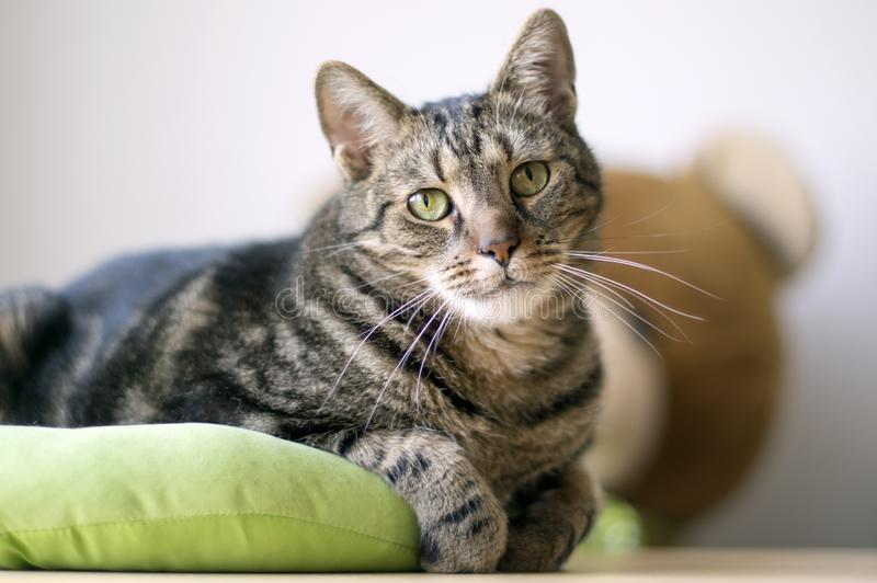 Porträt des netten Marmors streifte Katze im lindgrünen Katzenbett, einzelnes Tier, Blickkontakt, Teddybärspielzeug auf Hintergru lizenzfreies stockbild