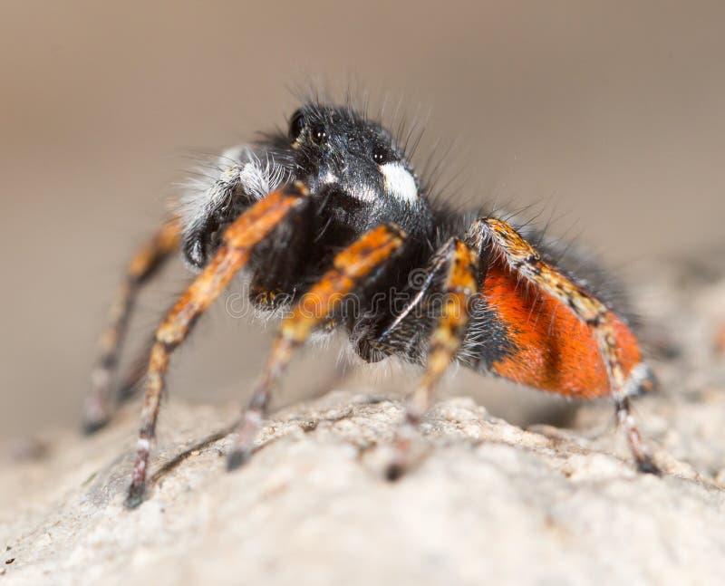 Porträt des Pullovers der roten Spinne stockfoto