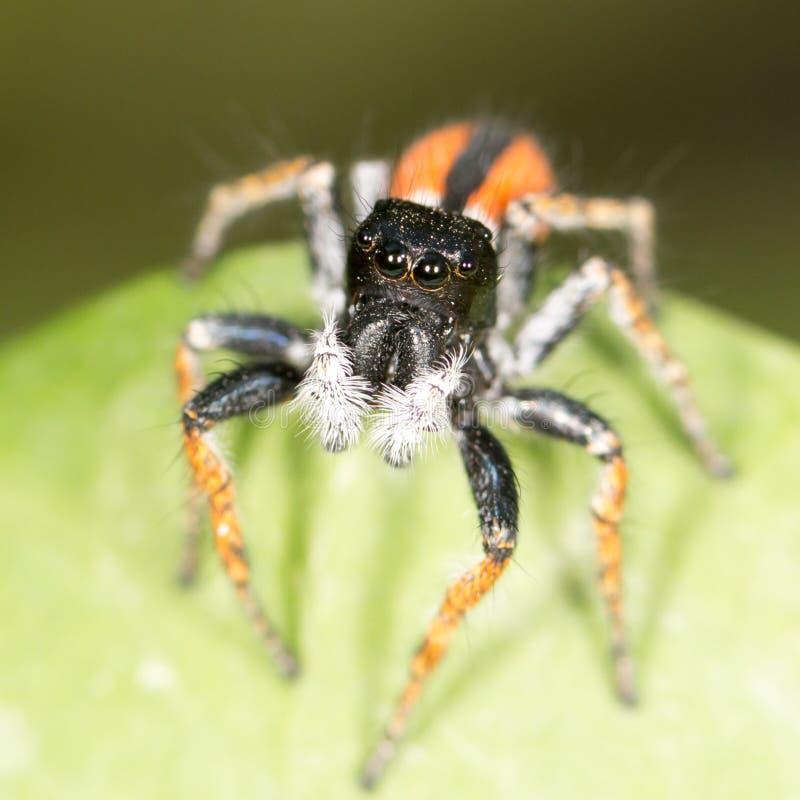 Porträt des Pullovers der roten Spinne lizenzfreie stockfotografie