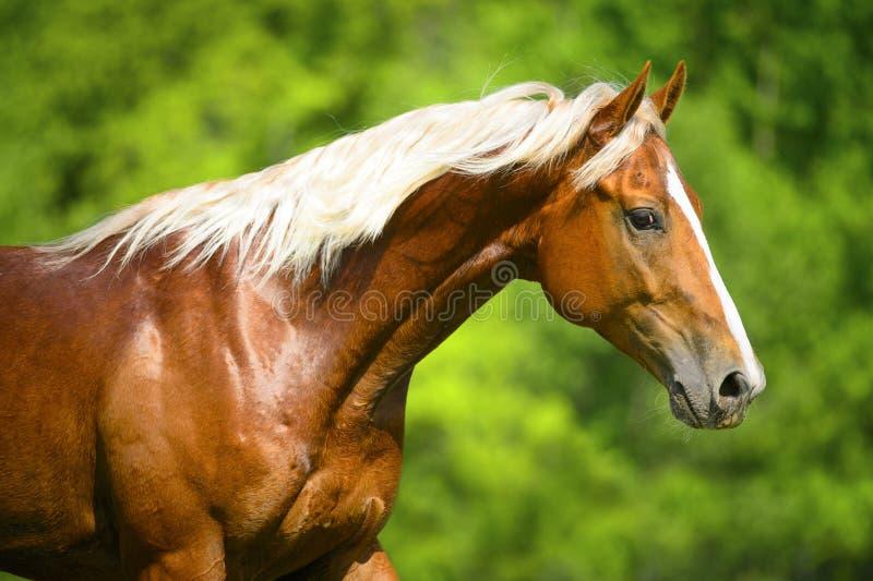 Porträt des roten Pferds mit der silbernen Mähne lizenzfreie stockfotos