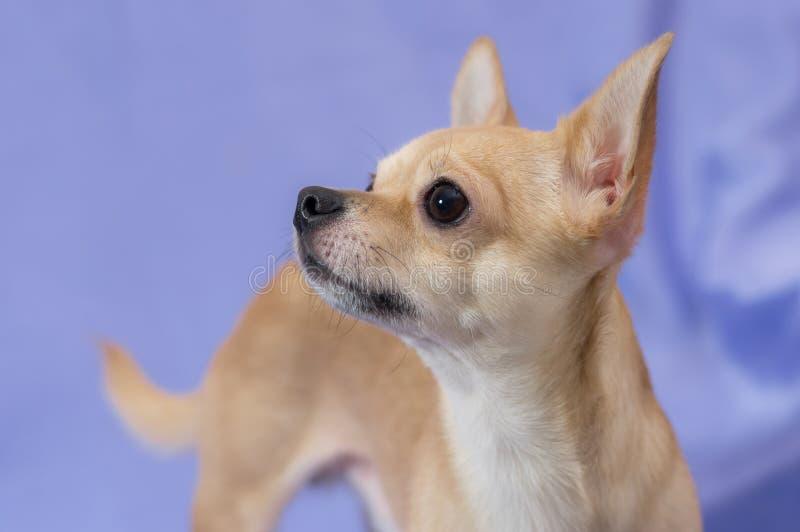Porträt des sahnigen neugierigen Chihuahuawelpen, der oben gegen blauen Hintergrund schaut stockfotografie
