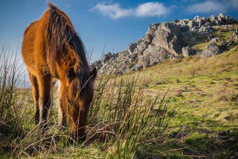 Porträt des schönen baskischen Pferd-pottok in den Landschaftsbergen, die Gras im baskischen Land, Frankreich essen lizenzfreie stockfotos