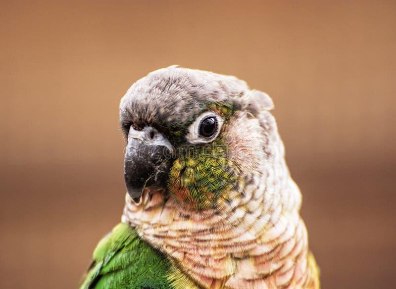 Porträt des schönen bunten Papageien, Vogelszene lizenzfreie stockfotos