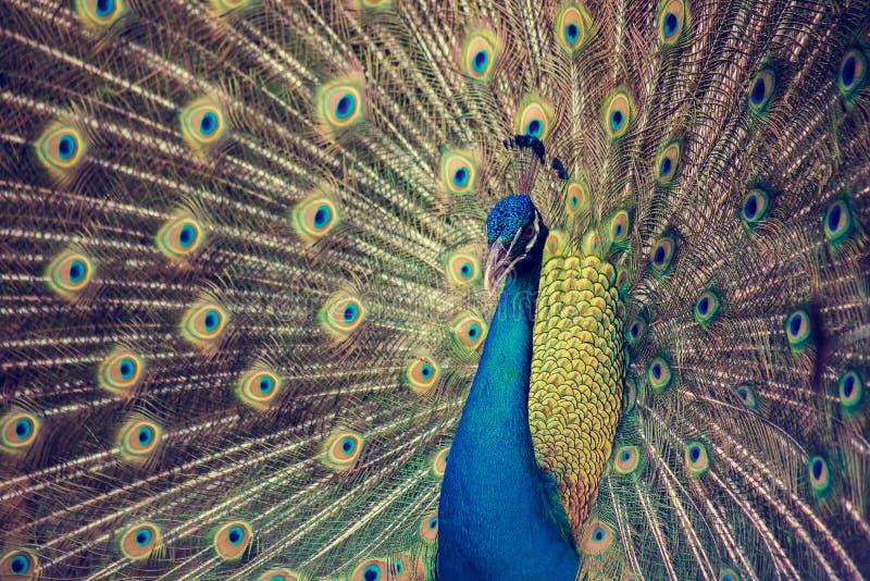 Porträt des schönen Pfaus mit Federn heraus stockfoto