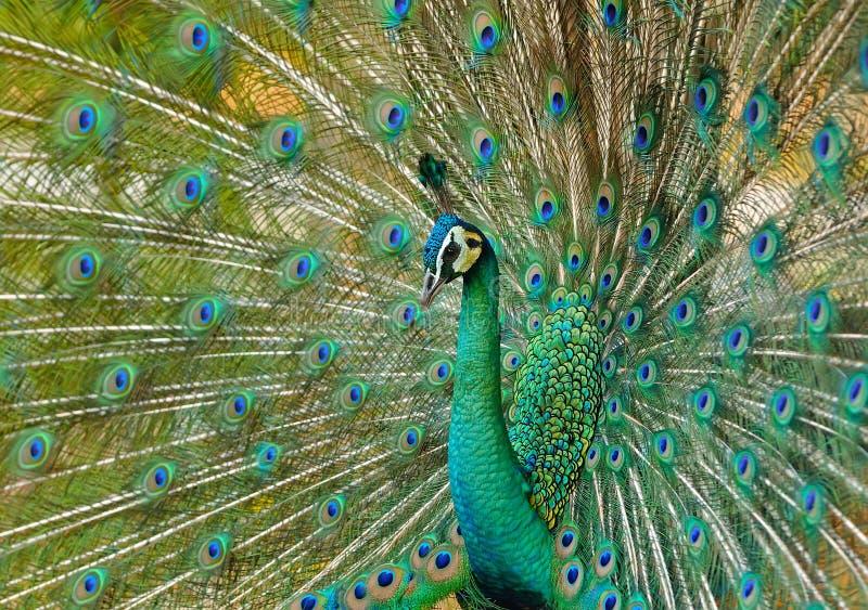 Porträt des schönen Pfaus mit Federn heraus lizenzfreie stockfotos