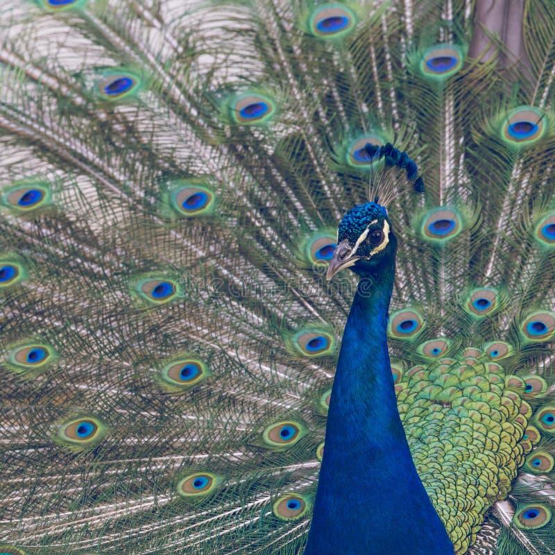 Porträt des schönen Pfaus mit Federn heraus stockbilder