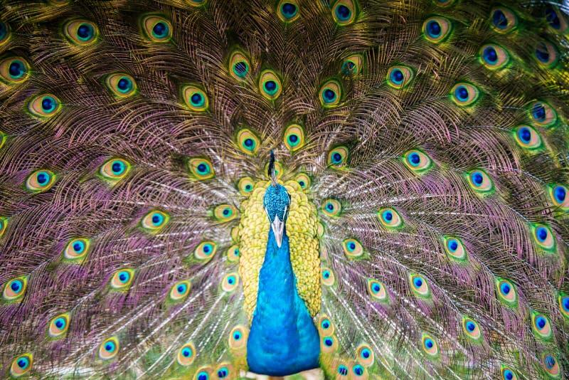 Porträt des schönen Pfaus mit Federn heraus stockbild